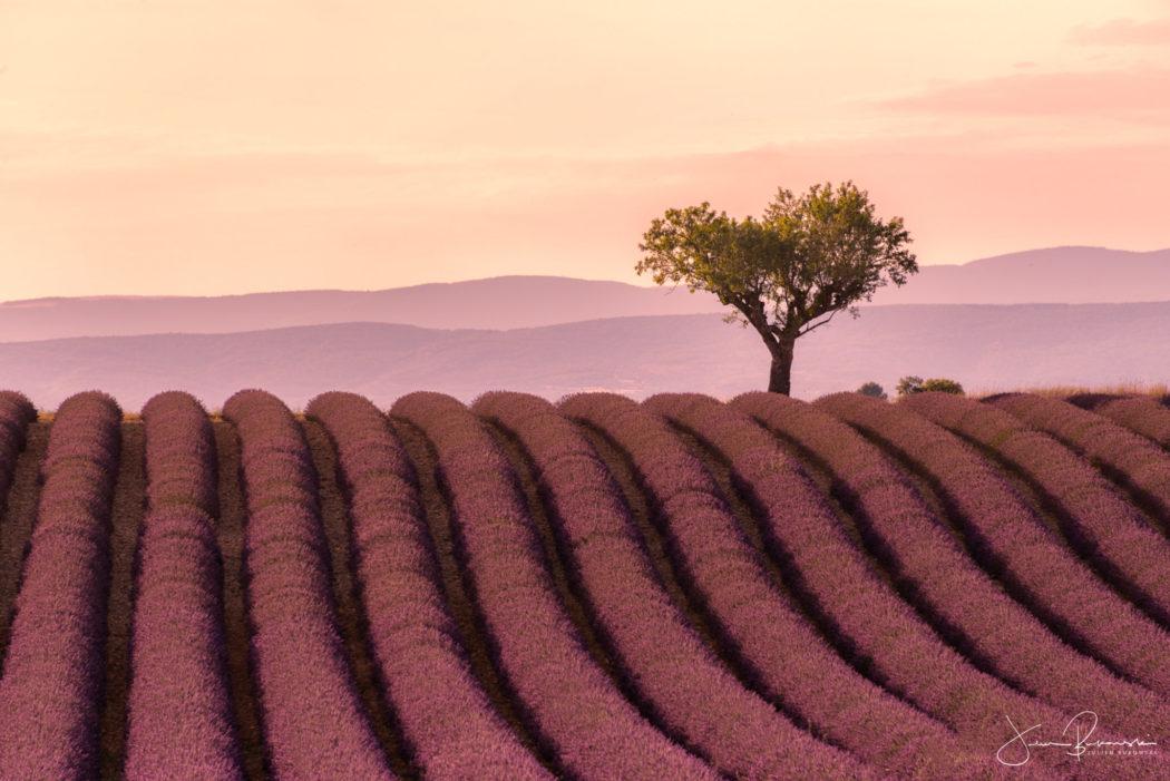 Purple tree (Valensole - France)