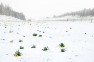 Jonquilles surprises par la neige (Tête de Ran - Suisse)