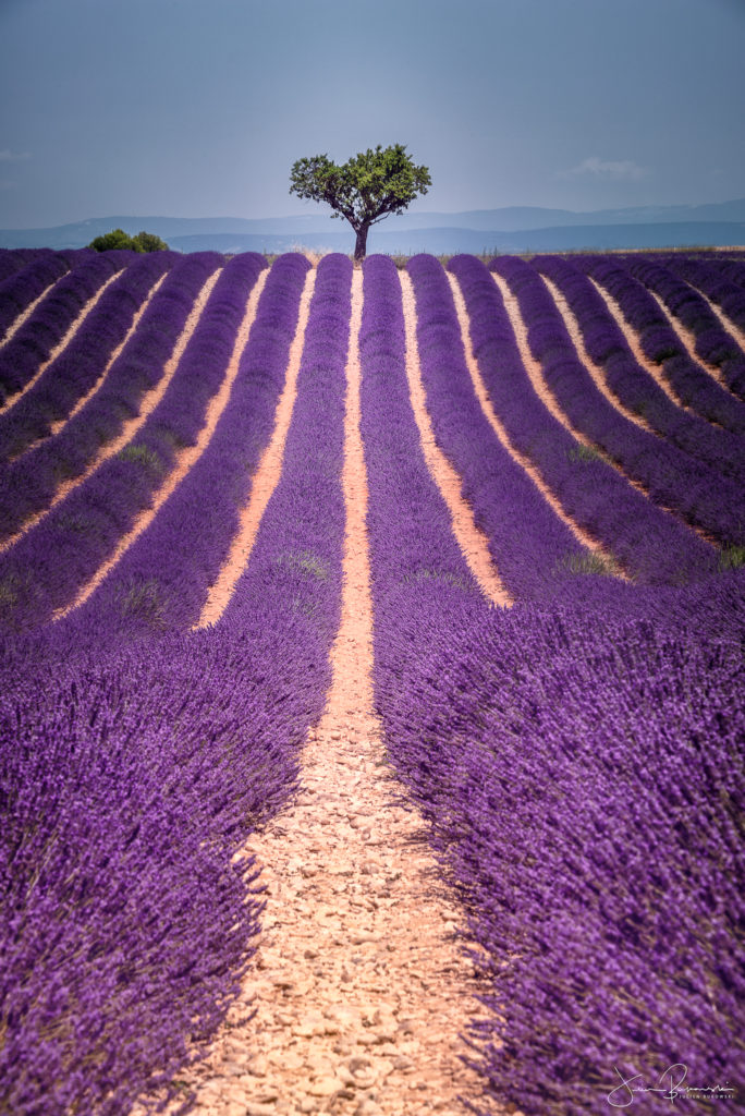 Alone in Lavender (Valensole - France)