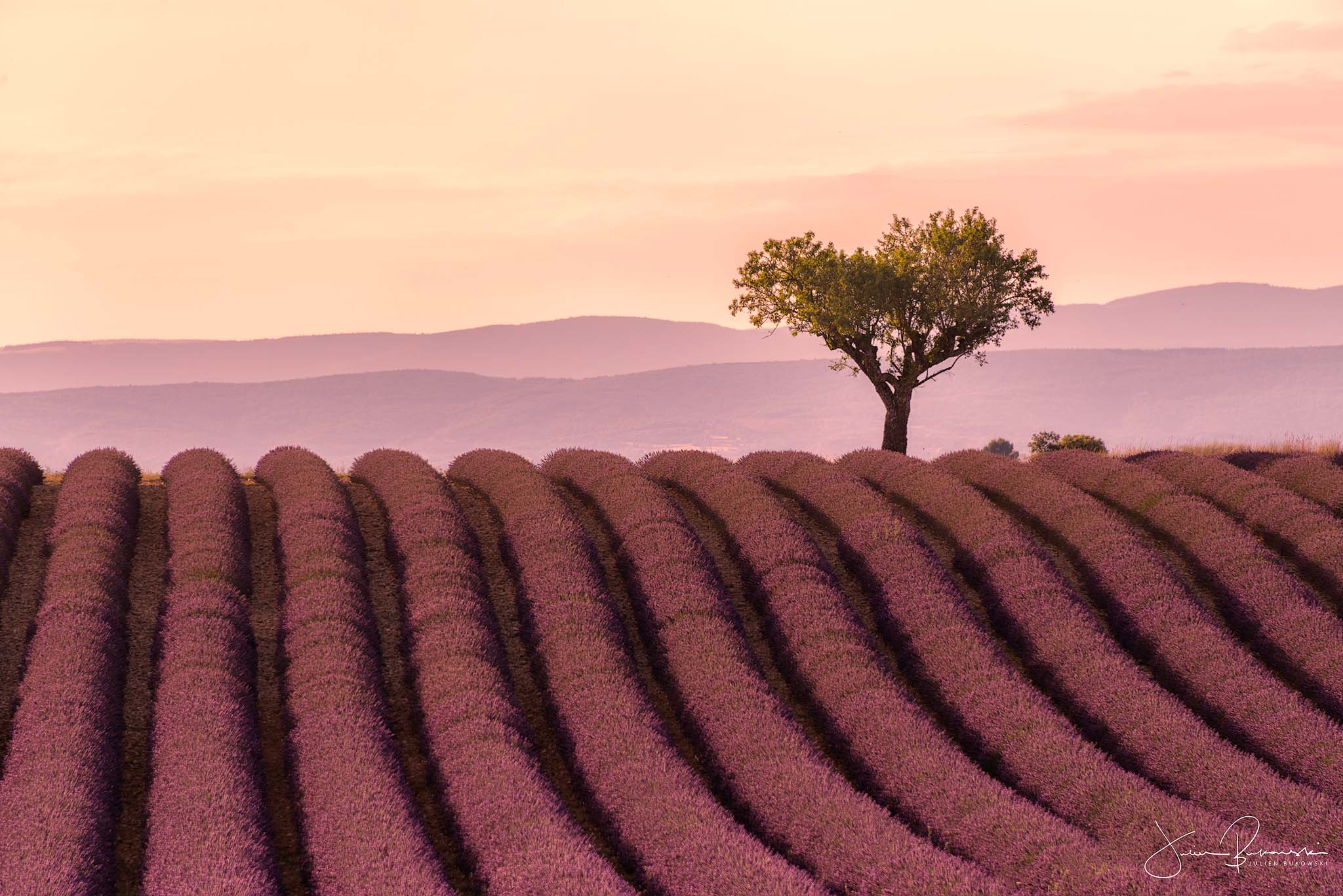 Purple tree (Valensole - France)